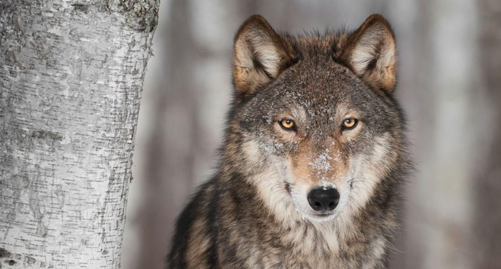 Three Yellowstone wolves killed in first week of Montana's hunting season
