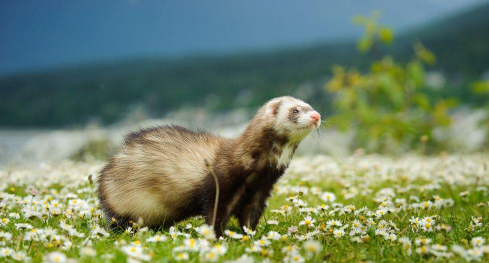 Coronavirus mutates rapidly in mink and ferrets. Should we be afraid?