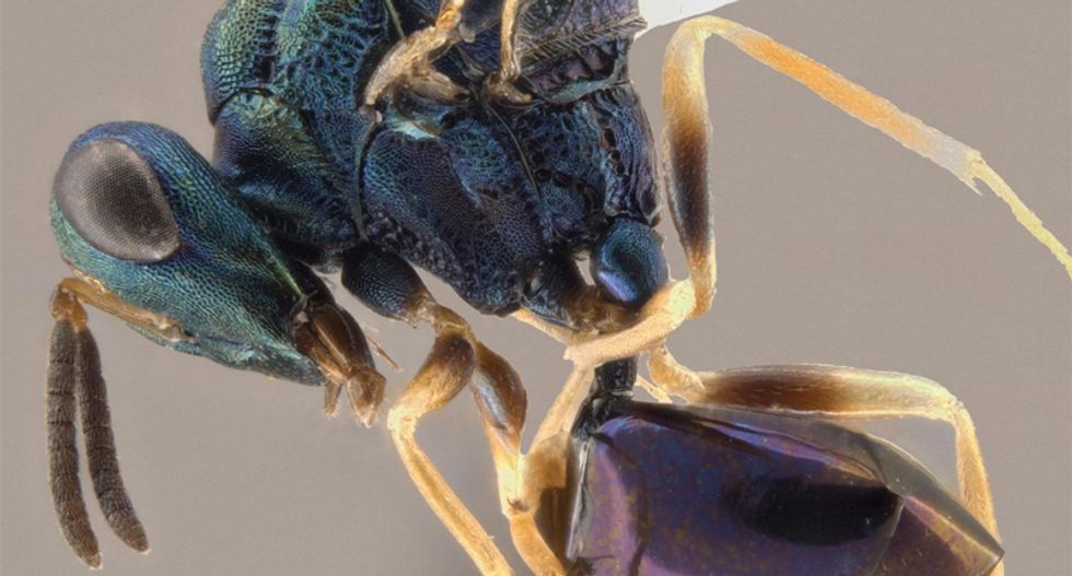 Wasp named after singer Ani DiFranco turns ants into slaves