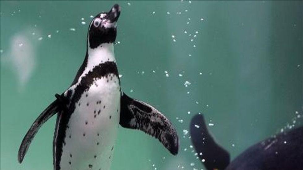 Peru investigates killing of endangered Humboldt penguins