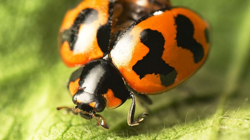 Ladybug invasion hits Tennessee