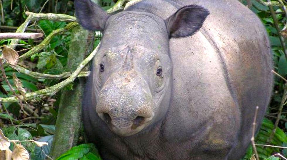 Hidden cameras capture critically endangered Sumatran rhino in Indonesian Borneo