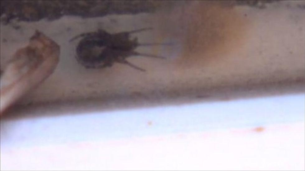 'False Widow' spider infestation shuts British school down
