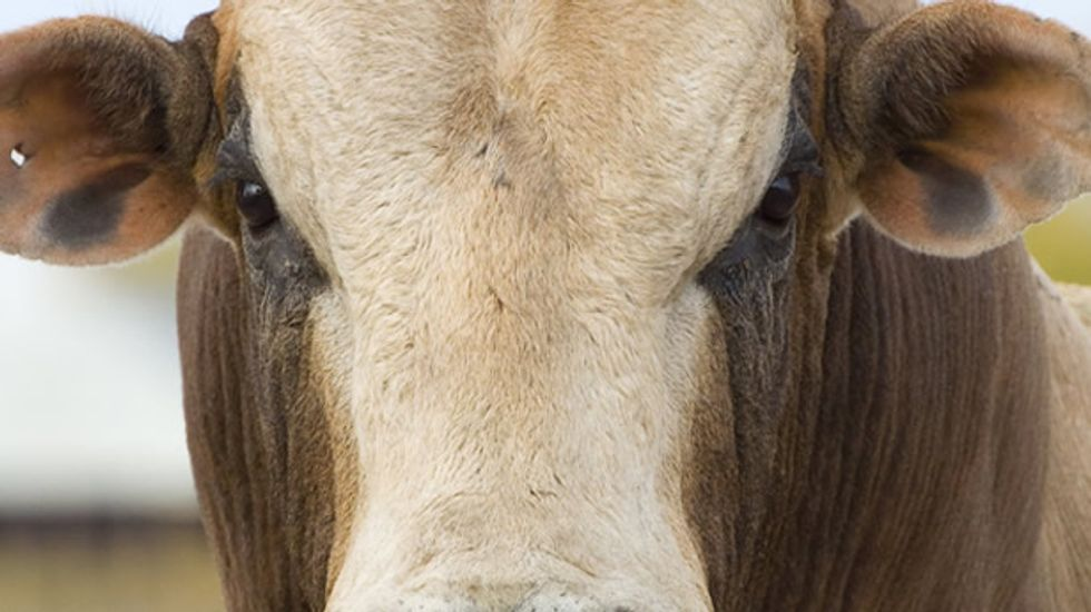 Administration has dangerously 'regressive' policy on curbing antibiotic use in livestock