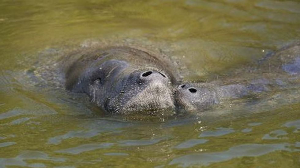 Florida men plead guilty to harassing endangered manatees