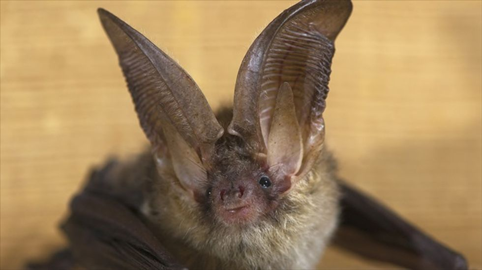SARS-like viruses can jump from bats to humans