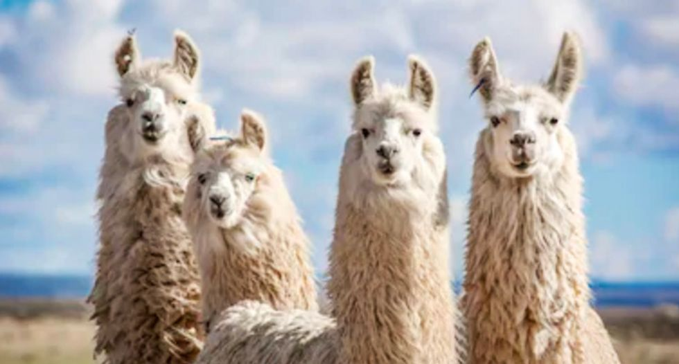 Here's why llamas are being enlisted to fight coronavirus