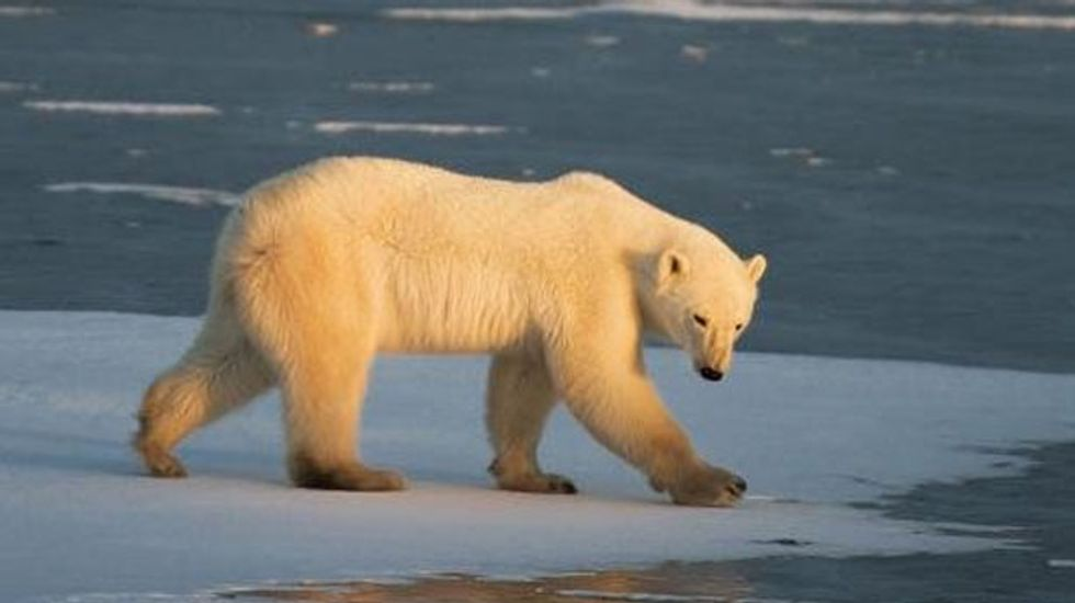 Oil exploration in the Arctic 'a new menace to polar bears'