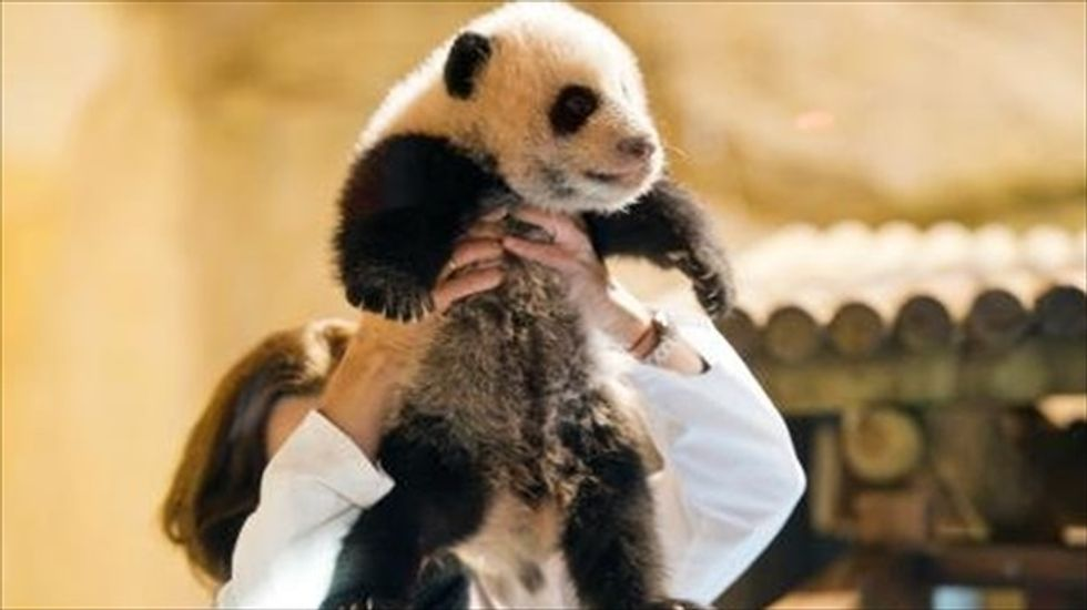 Spanish zoo unveils and names new baby panda