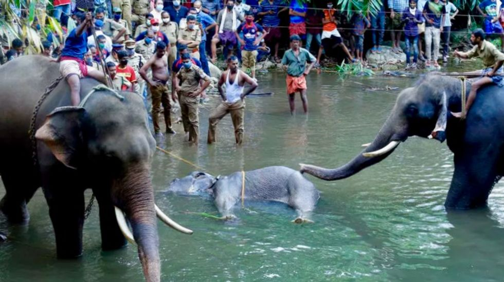 Pregnant elephant dies in India after eating explosive fruit trap