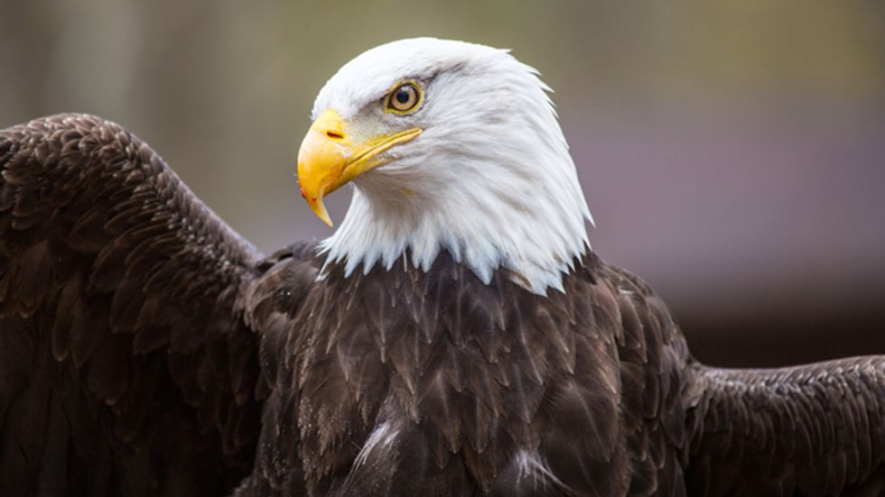 US to give 30-year wind farm permits; thousands of eagle deaths seen