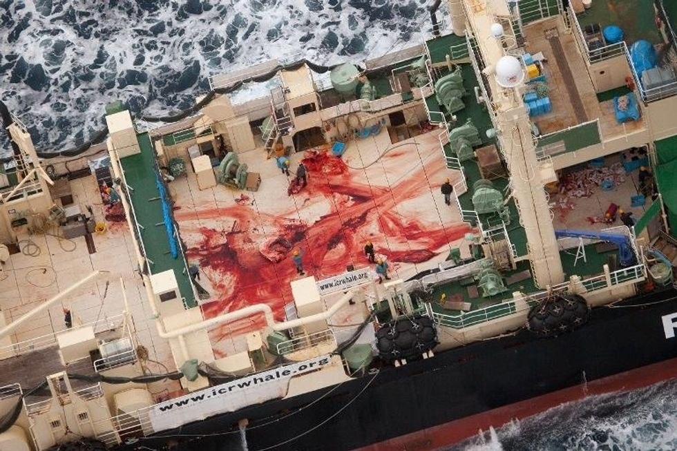 Anti-whaling activists Sea Shepherd catch Japanese fleet slaughtering four whales inside sanctuary