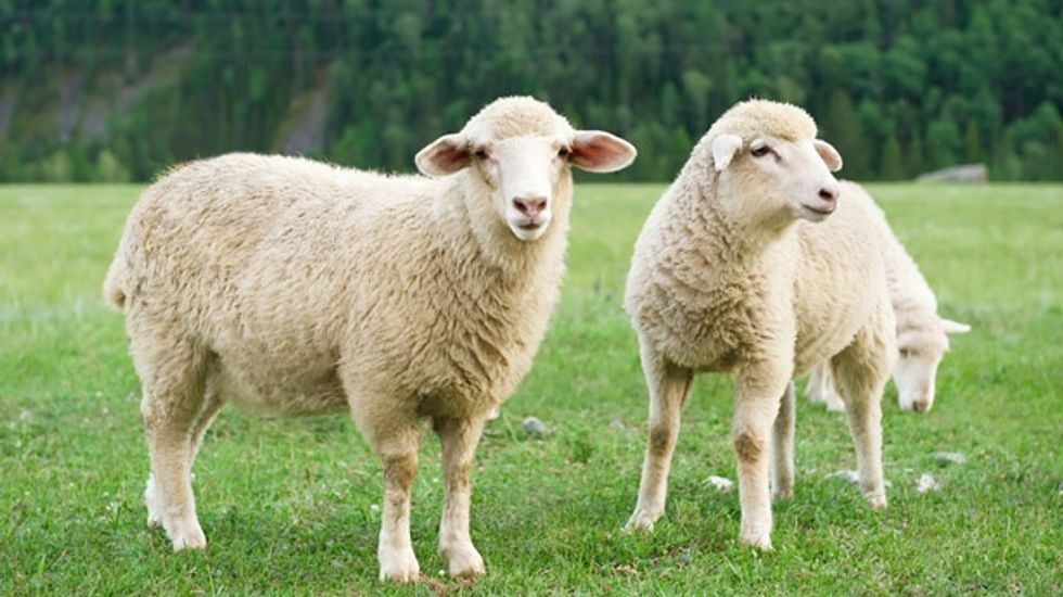 Scientists map entire genome of sheep