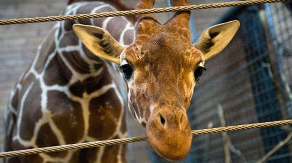 Danish zoo says has no plans to kill second giraffe named Marius