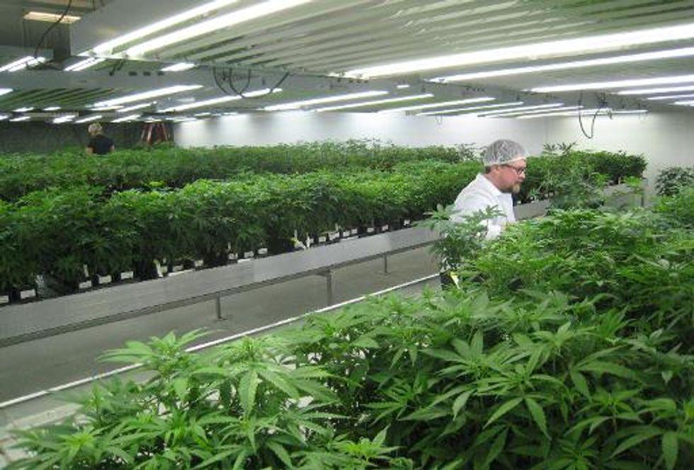 Growing medical marijuana is a big business in Canada