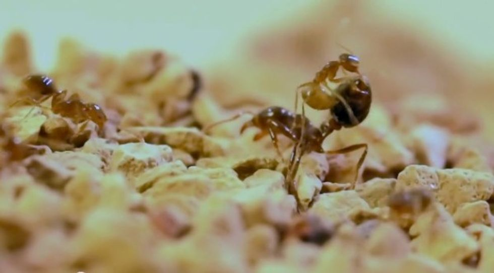 Crazy ants rely on secret weapon in war against fire ants: research