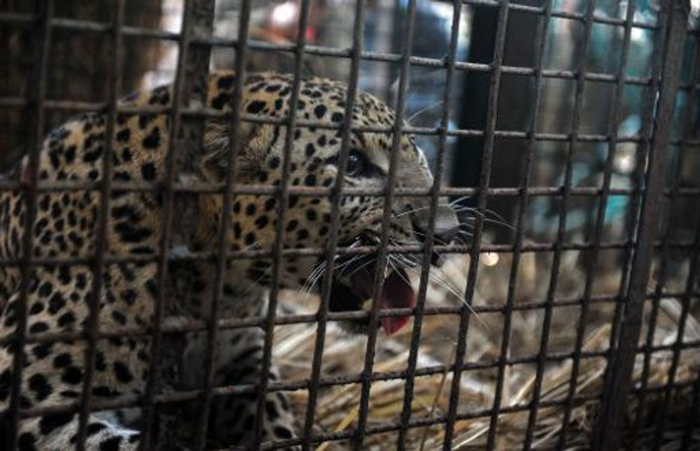 Leopard on the loose in Indian city of Meerut triggers panic