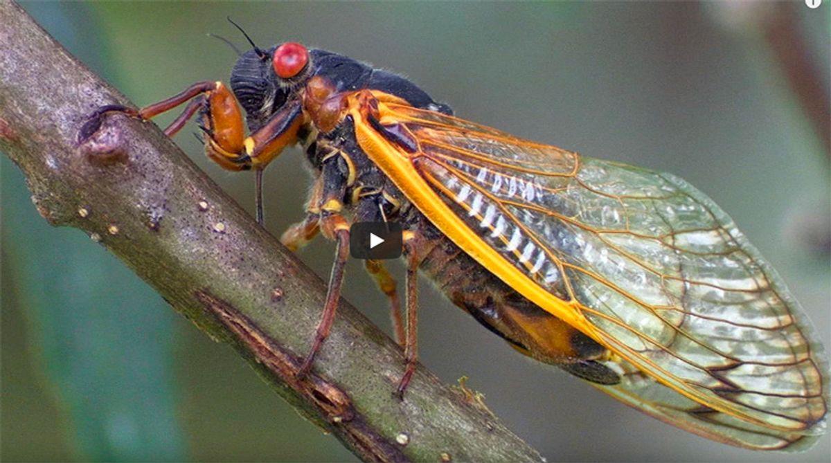 Allergic to seafood? Don't eat swarming cicadas, US warns