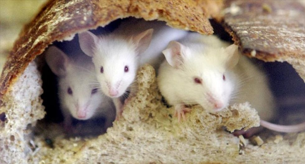 Fountain-of-youth molecules make mice young again, extending their lives