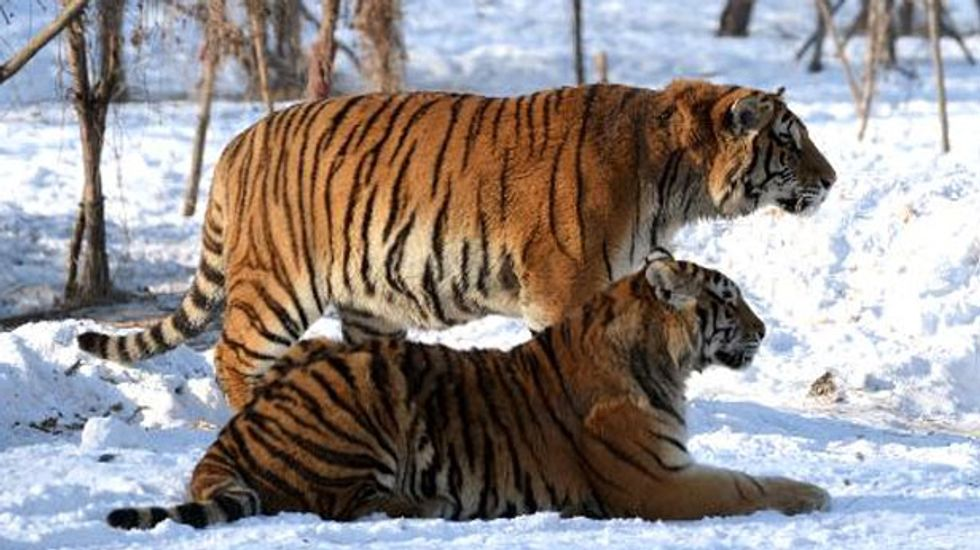 Wealthy Chinese businessmen stage tiger killings shows for entertainment