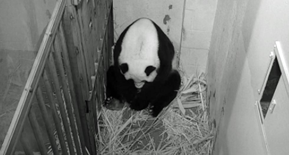 National Zoo celebrates birth of giant panda in Washington, DC