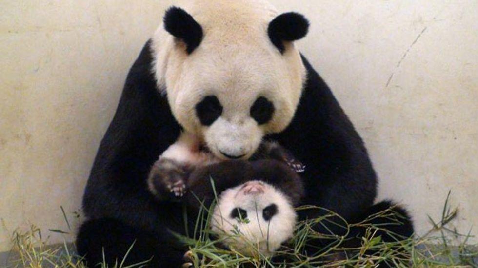 Panda-monium!: The secret lives of pandas