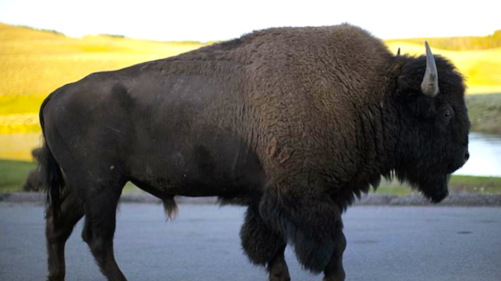 Conservation groups press Obama adminstration to protect Yellowstone bison