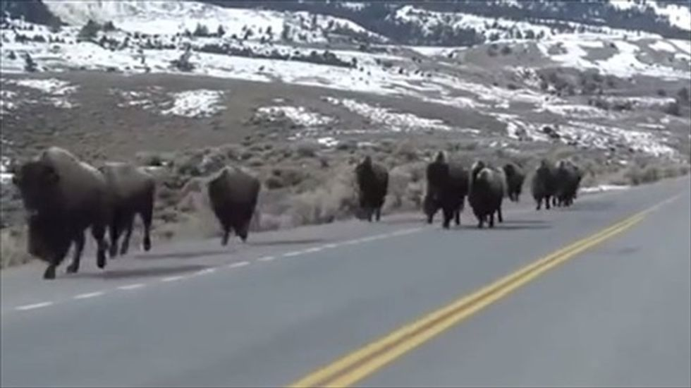 Dept. of Interior advances plan to reintroduce wild bison herds outside Yellowstone