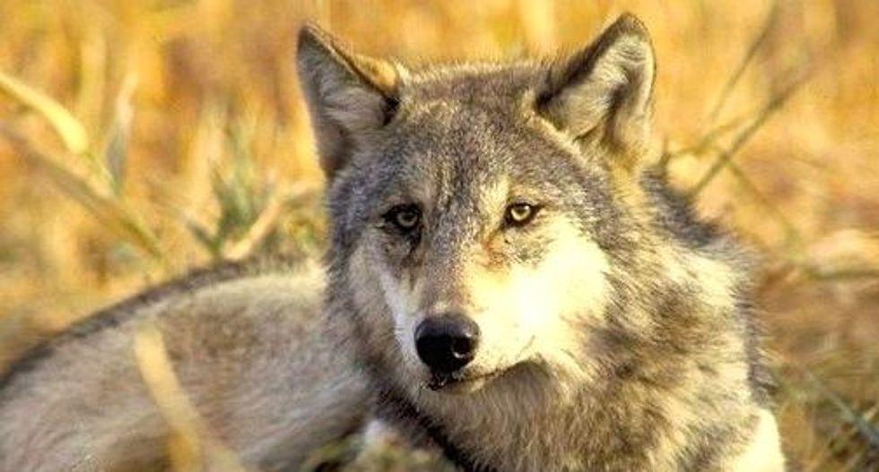 Washington state begins killing wolf pack for preying on livestock