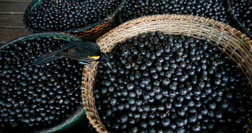 Canada researchers investigating acai berry to fight COVID-19