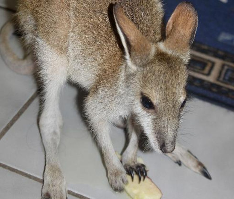 Baby wallaby rescued from $9,291 Facebook sale