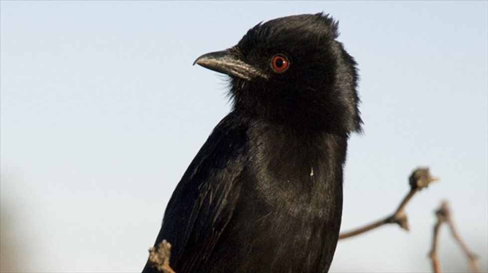 Forked tail, forked tongue: Scientists say African bird can imitate 50 other animals