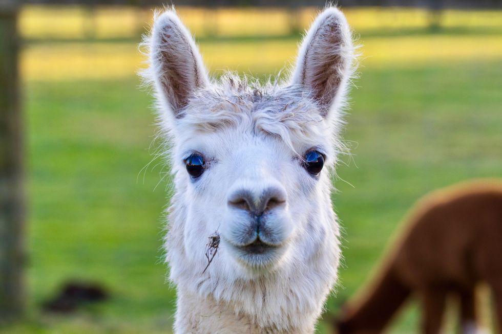 Swedish scientists are working on a radical COVID-19 blocker involving alpacas