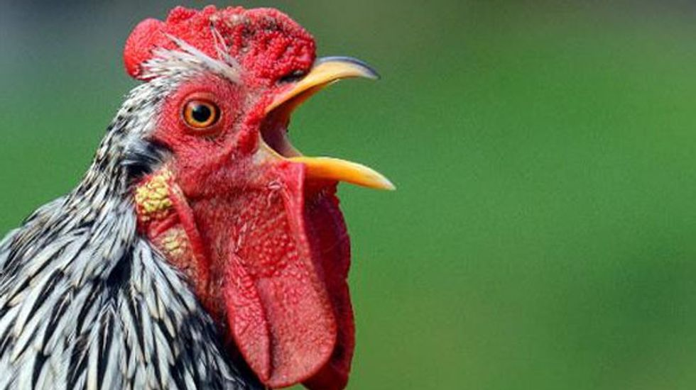 Scientists are racing to develop a new breed of chicken that can survive crippling heatwaves