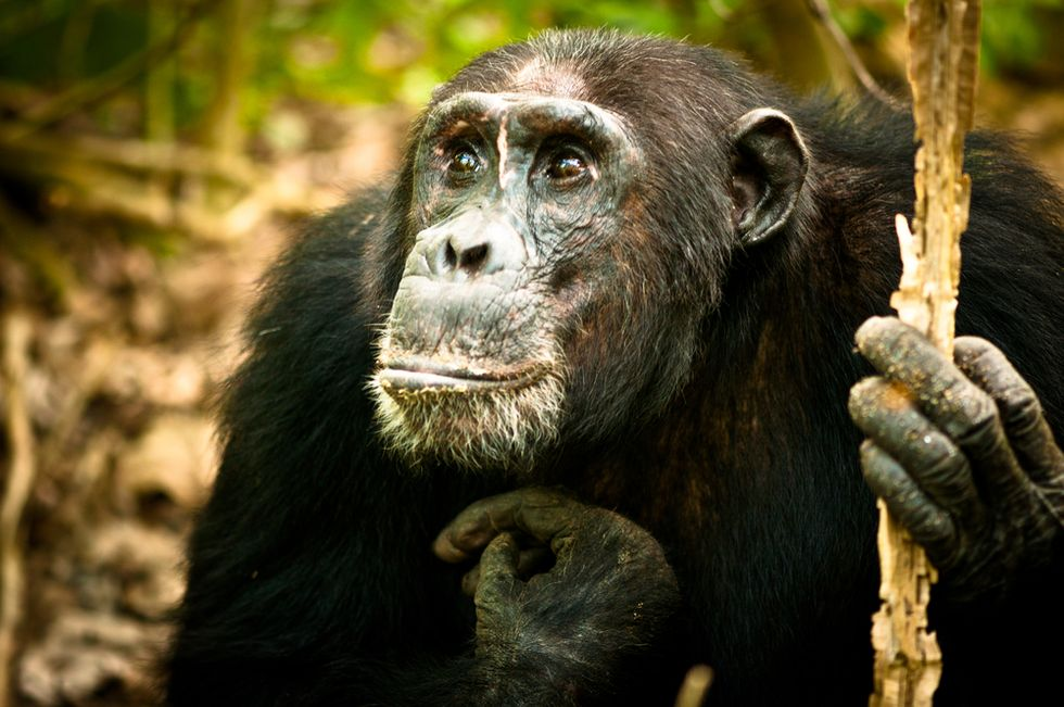 Social networking study reveals four-year 'Game of Thrones'-like chimpanzee war