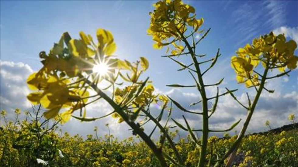Scientists say this spicy plant cuts the mustard as a nerve gas deterrent