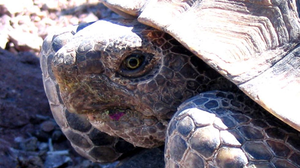 Before Cliven Bundy: The war between Nevada ranchers and the Mojave desert tortoise