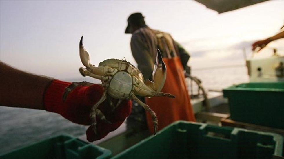 Warming oceans may shrink Florida stone crab supply