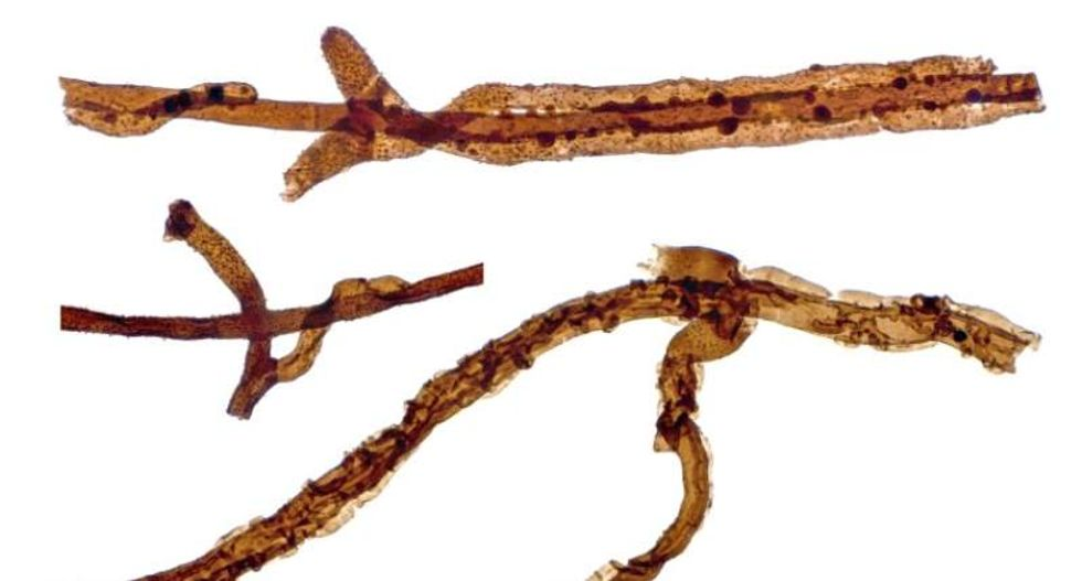 Wondrous fungus: Tiny 440-million-year-old fossils are oldest of any land-dwelling organism