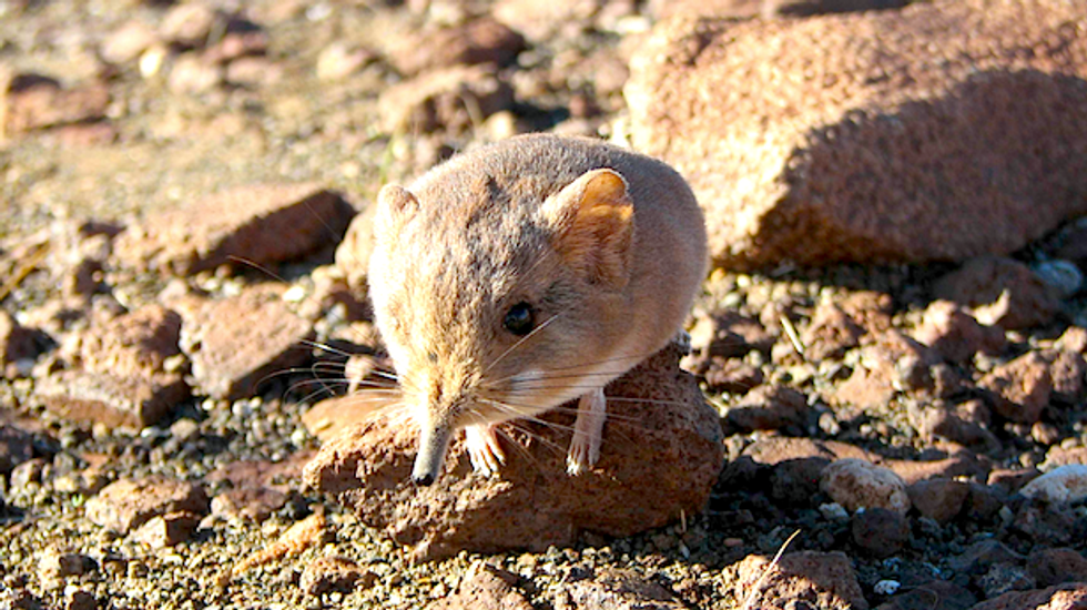 Newly discovered shrew looks like a mouse, acts like an antelope -- and related to elephants