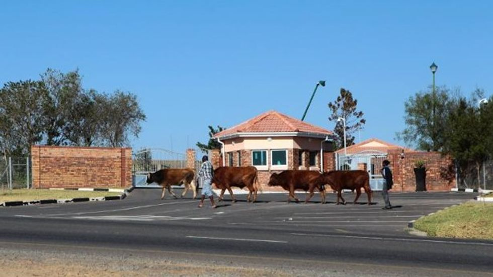 South African authorities rescue 'starving' cows from home of late Nelson Mandela