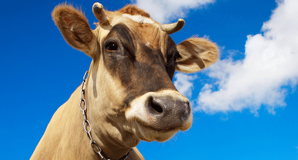 Cows could be the largest land mammals left on Earth two centuries from now: study