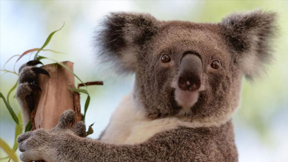 A report claims koalas are 'functionally extinct' – but what does that mean?