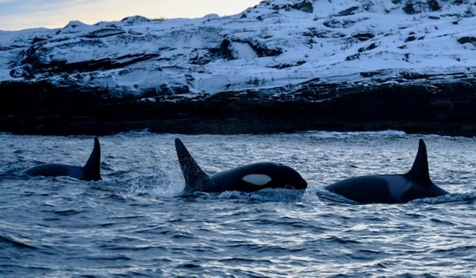 Climate change pushing killer whales to migrate north