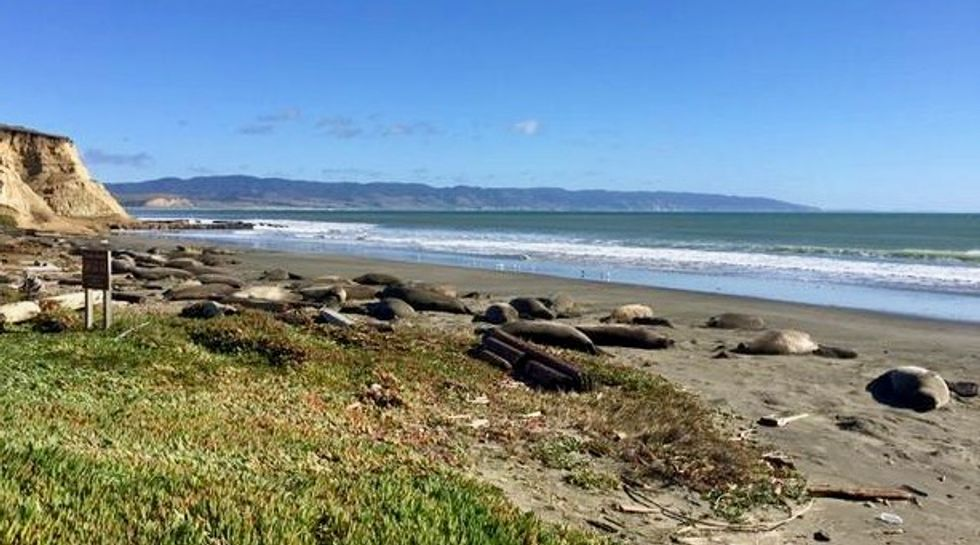 Elephant seals take over California beach during U.S. shutdown