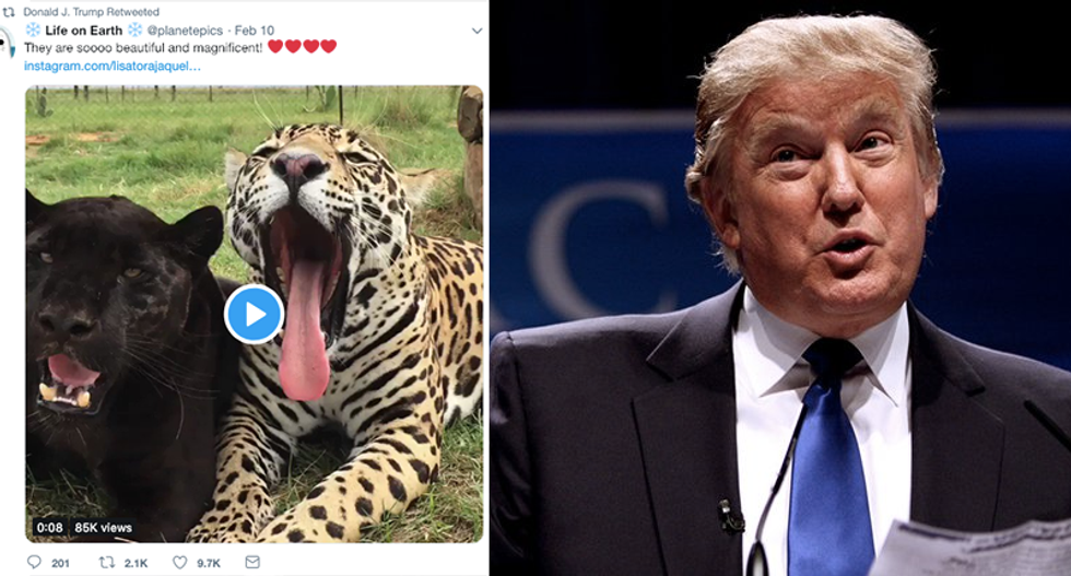 'Covfefe II': Internet hilariously mocks Trump's bizarre retweet of leopards video
