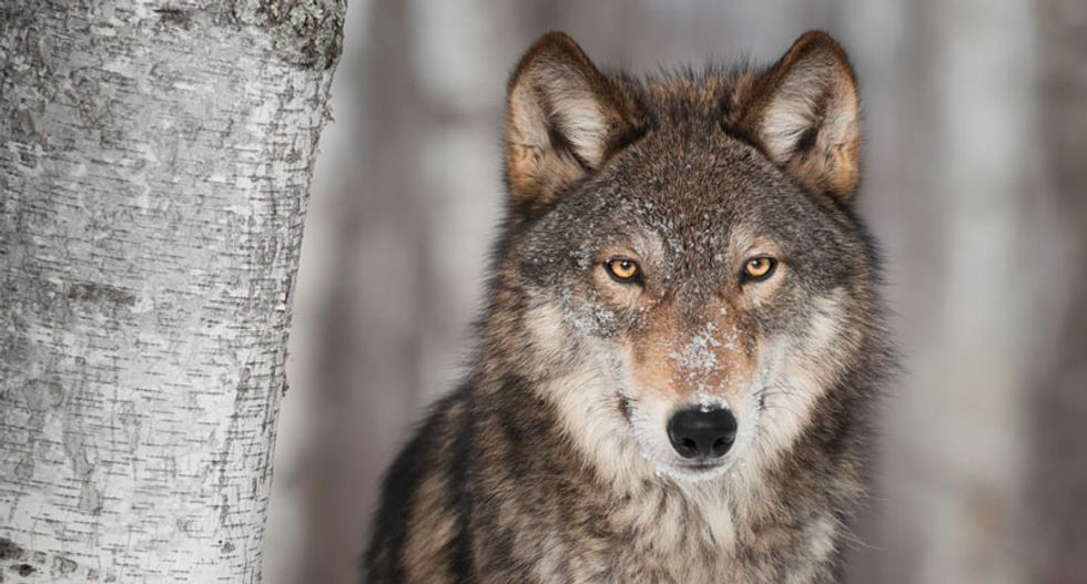 Hunting with wolves: How humans outlasted the Neanderthals