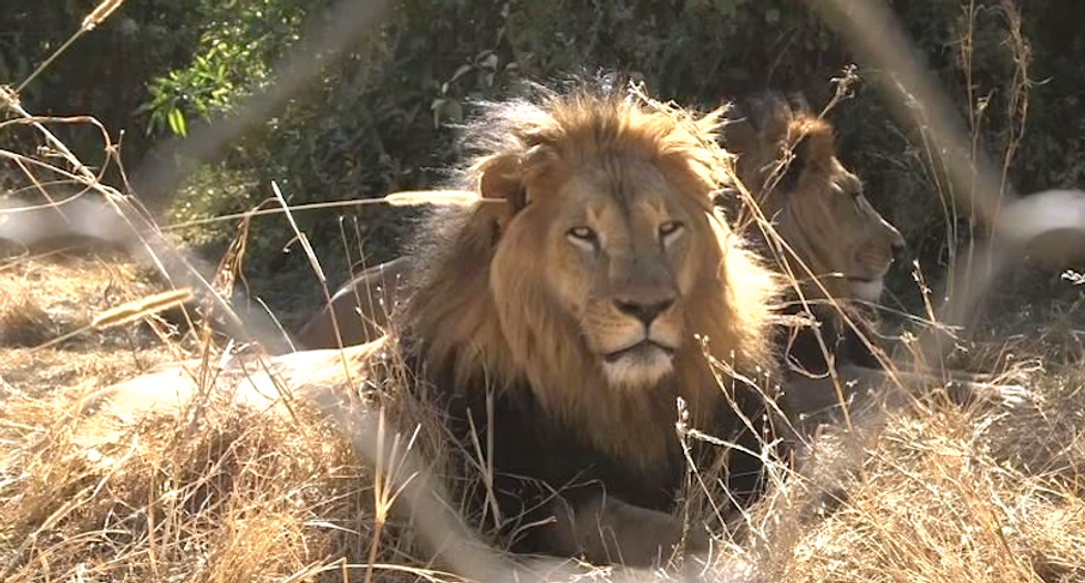 Ethiopia's 'Iron Lion Zion' cats dwindling under pressure from humans