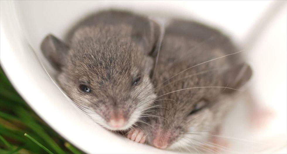 Neuroscientists successfully implant memories into sleeping mice