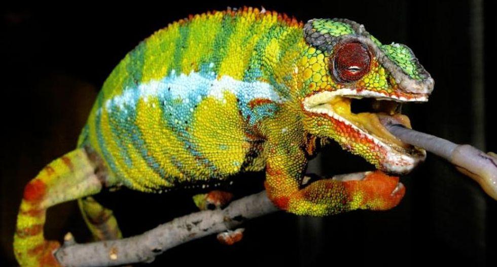 'We were surprised': Scientists have finally figured out how chameleons change color